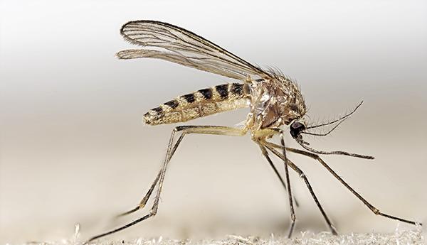 mosquito comun